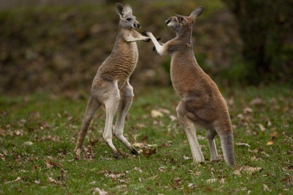 kangaroos playing